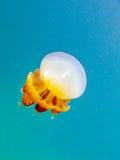 Żółta meduza w jasnym błękitnym morzu Obraz Stock