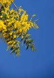 Żółta mimoza Kwitnie na niebieskim niebie Fotografia Royalty Free