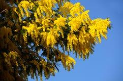Żółta mimoza Kwitnie na niebieskim niebie Obraz Stock