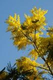 Żółta mimoza Kwitnie na niebieskim niebie Zdjęcie Stock