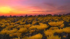 Żółta okwitnięcie chryzantema Obraz Royalty Free