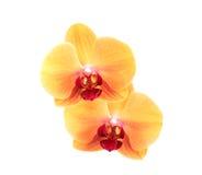 Żółta orchidea Obraz Stock