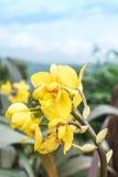 Żółta orchidea fotografia stock
