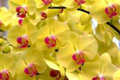 Żółta orchidea Obrazy Royalty Free