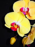 Żółta orchidea Obrazy Stock