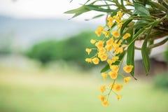 Żółta orchidea Zdjęcia Royalty Free