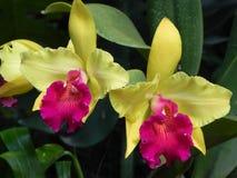 Żółta orchidea w okwitnięciu Zdjęcie Royalty Free