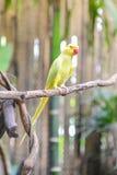 Żółta papuga na gałąź Obrazy Stock