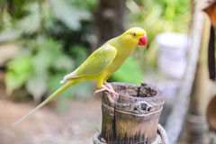 Żółta papuga na gałąź Zdjęcia Royalty Free