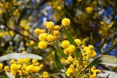 Żółta piłka mimoza kwiaty Kobiety s dzień, 8 marsz Fotografia Royalty Free