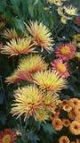 Żółta pomarańcze i korala mum Obraz Royalty Free