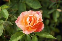 Żółta pomarańcze róża Fotografia Stock