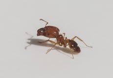 Żółta pomarańczowa miodowa mrówka Obraz Stock