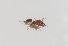 Żółta pomarańczowa miodowa mrówka Obraz Royalty Free