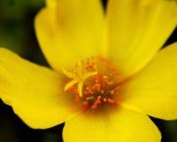 Żółta portulaka Zdjęcie Royalty Free