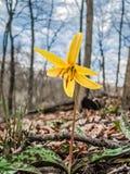 Żółta Pstrągowa leluja fotografia stock