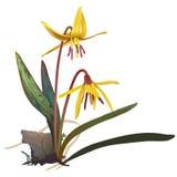 Żółta Pstrągowa leluja - Erithronium americanum Zdjęcia Stock