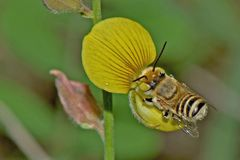 Żółta pszczoła Zdjęcie Royalty Free