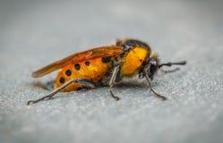 Żółta pszczoła Fotografia Royalty Free