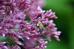 Żółta pszczoła w gronie purpurowi kwiaty fotografia stock