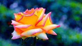 Żółta róża Obrazy Royalty Free