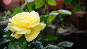 Żółta róża zbiory wideo