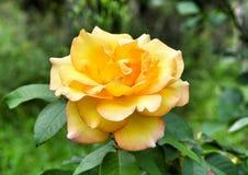 Żółta róża Obrazy Stock