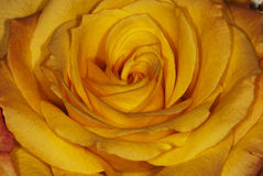 Żółta róża Zdjęcie Royalty Free