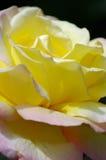 Żółta róża fotografia royalty free