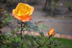 Żółta róża Zdjęcie Stock