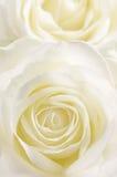 Żółta róża pionowo Obraz Royalty Free