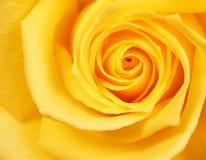 Żółta róża Tło Zdjęcie Stock