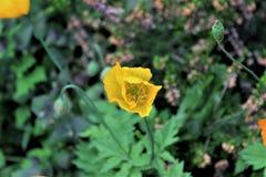 Żółta roślina w przedpolu Fotografia Royalty Free