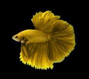 Żółta siamese bój ryba, Halfmoon betta ryba odizolowywająca na bla Zdjęcia Royalty Free