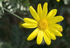 Żółta stokrotka obrazy stock