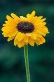 Żółta stokrotka Obraz Royalty Free