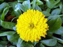Żółta stokrotka Zdjęcia Stock