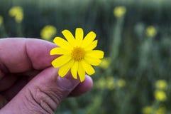 Żółta stokrotka kwitnie, chodniczki, ornamentacyjni kwiaty, naturalni barwioni kwiaty, miasto ornamentacyjni kwiaty, kwiaty międz Zdjęcie Stock