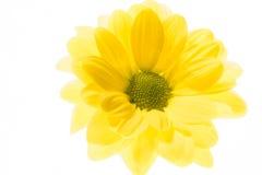 Żółta stokrotka na białym tle Zdjęcia Royalty Free