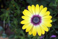 Żółta stokrotka z purpury centrum Zdjęcie Royalty Free