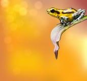Żółta truskawkowa jad strzałki żaba Zdjęcia Stock