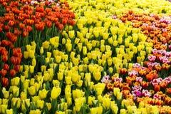 Żółta tulipanów kwiatów tekstura Obrazy Stock