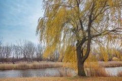 Żółta wierzba blisko rzeki Zdjęcie Royalty Free