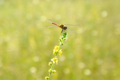 Żółta zieleń zamazywał tło łąka z dragonfly - 2 Fotografia Stock