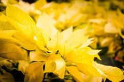Żółte boże narodzenie gwiazdy Obraz Stock