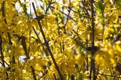 Żółte forsycje Zdjęcia Royalty Free