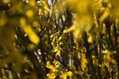 Żółte forsycje Obrazy Stock