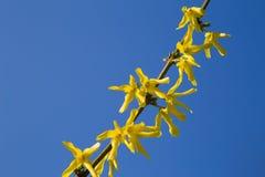 Żółte forsycje Zdjęcie Stock
