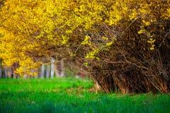 Żółte forsycje krzak i zieleń obszar trawiasty w wiosna sezonie Fotografia Stock