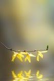 Żółte forsycje Kwitnie gałąź nad wodą Obrazy Royalty Free